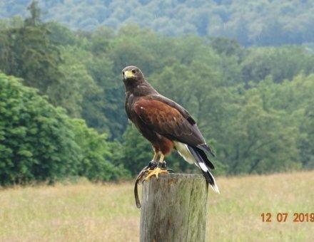 Auf diesem Foto befindet sich ein Greifvogel auf einem Stamm mitten in der Natur. Hinter dem Vogel sieht man viele Bäume.